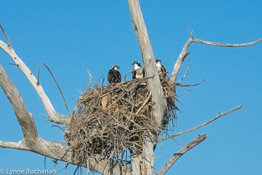 Ospreys Communicating While Tending Their Nest