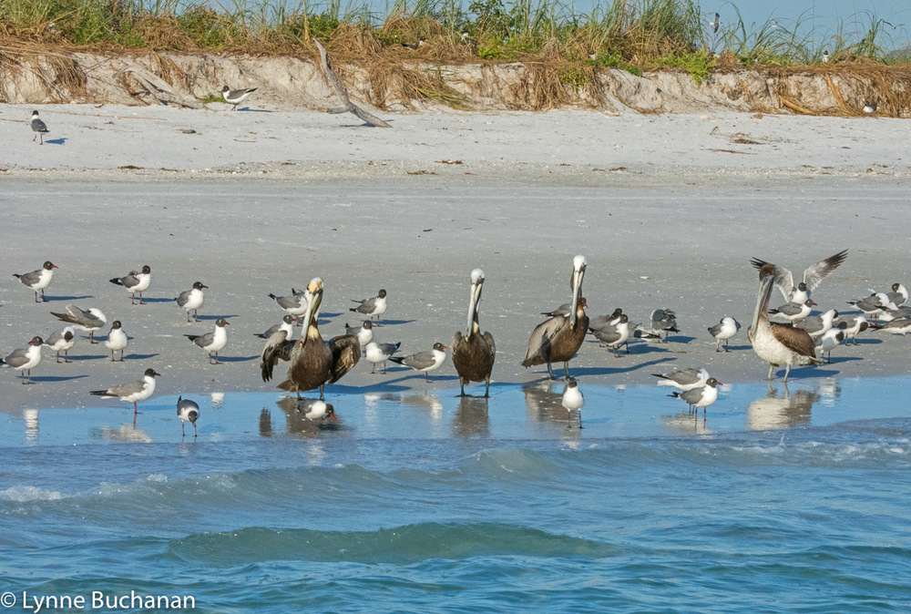 Pelicans and Shorebirds, Bird Beach, Egmont Key