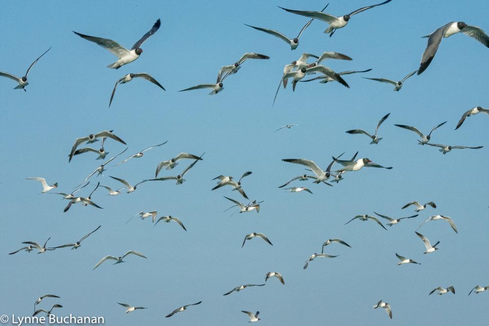 Swarming Shorebirds, Egmont Key