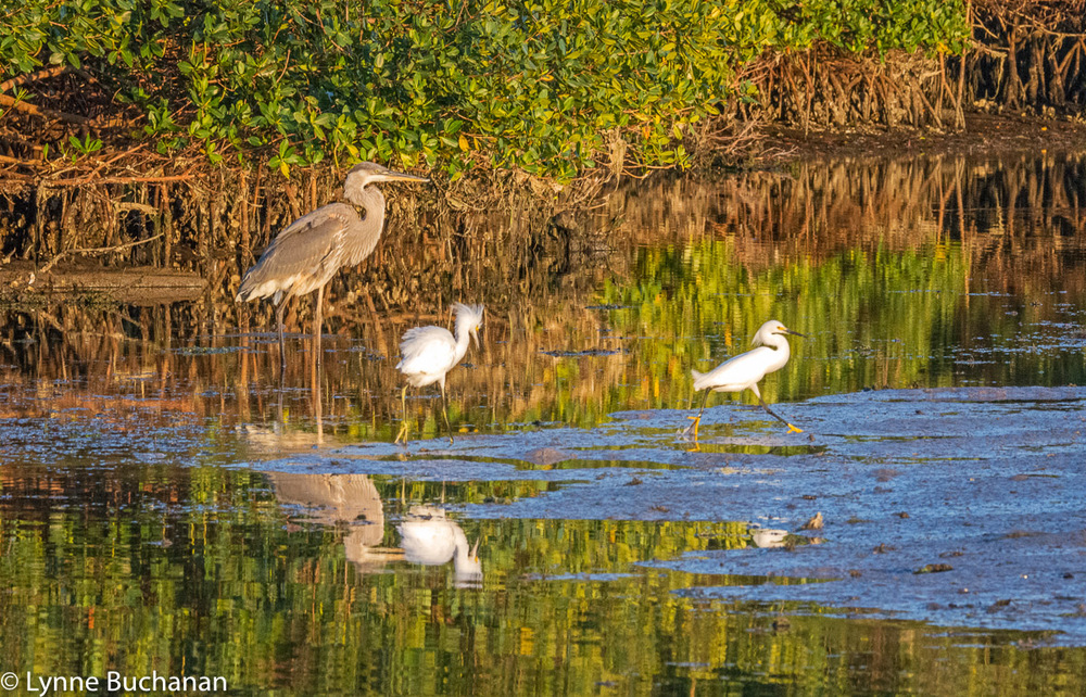 Heron and Egrets, Sarasota Bay near Cortez Fishing Village