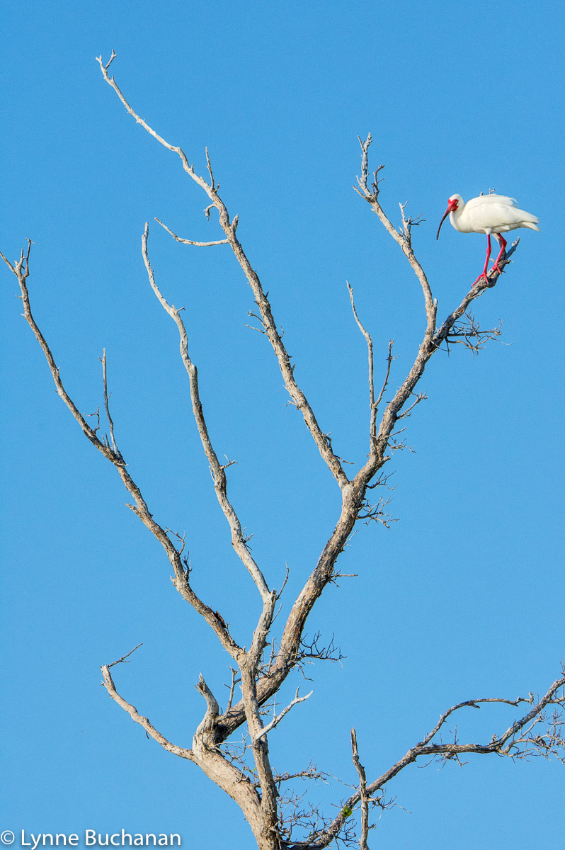 Ibis Perched on a Dead Tree, Caya Costa