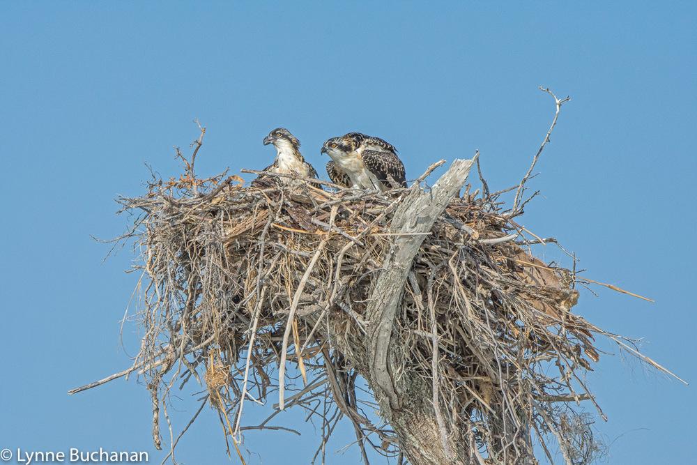 Ospreys Patrolling Their Nest