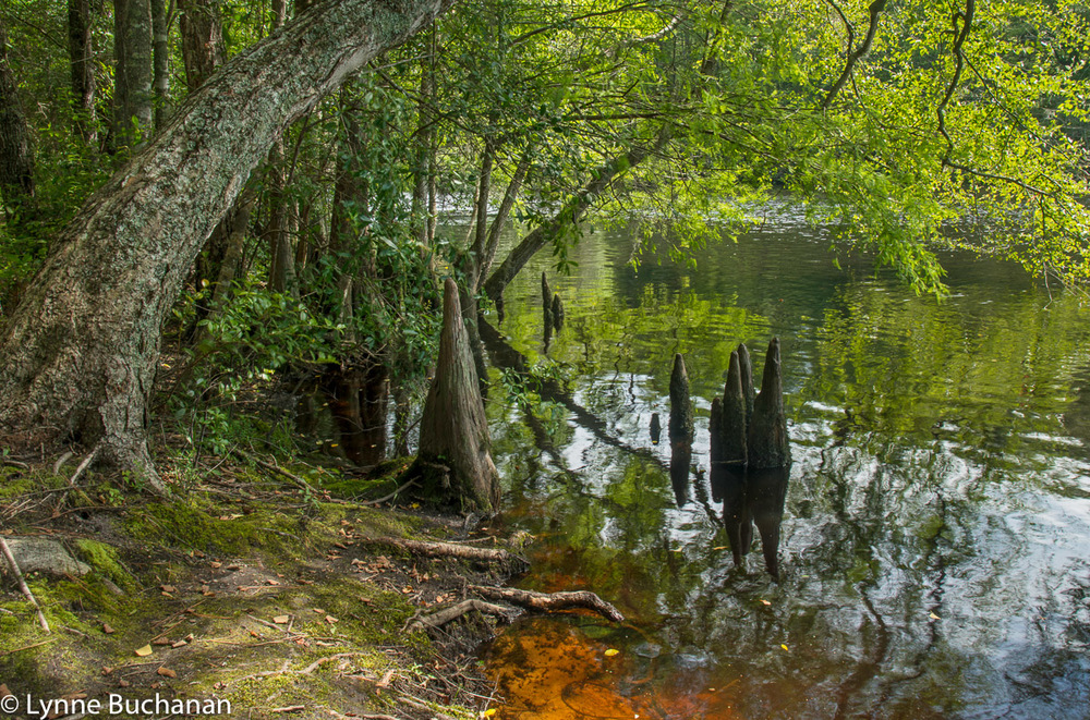 Lumber River with Tannin and Cypress Knees