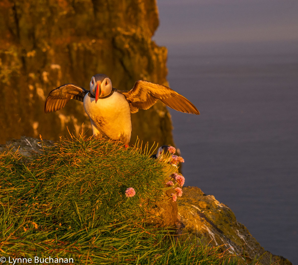 Puffin Landing on a Cliff in the Golden Light