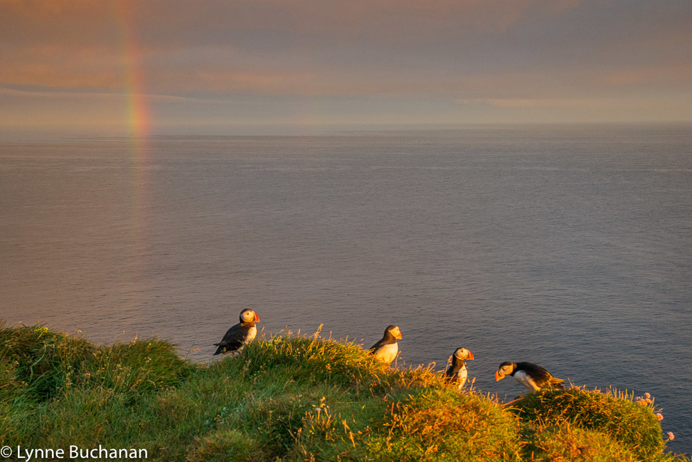 Puffins on the Cliff Edge Beneath a Rainbow