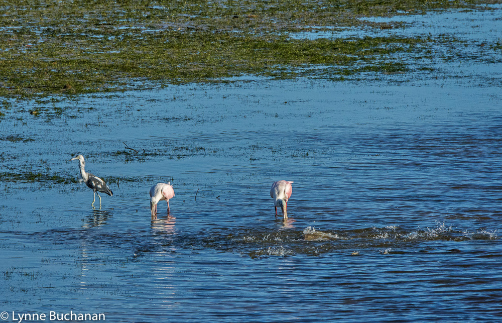Spoonbills, Tricolored Heron, and Jumping Fish, Clam Pass
