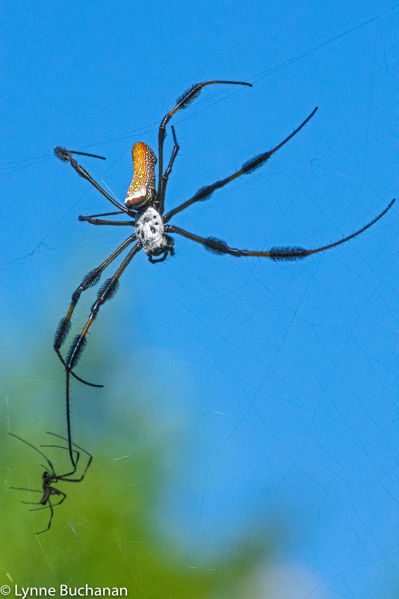 Female Orb-Weaver Reaching for Her Prey