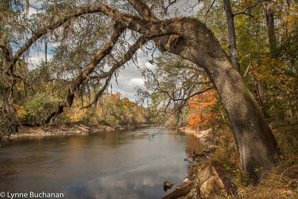 Tree Arching Over the Suwannee River in Fall