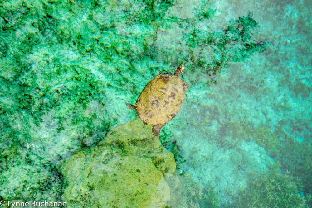 A Turtle Enjoying an Early Morning Swim