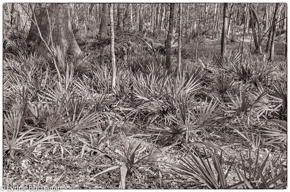 Palmettos in the Woods