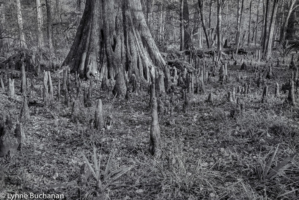 Cypress with Many Knees in the Woods