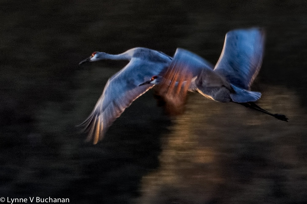 Sandhill Cranes Flying from their Threatened Habitat