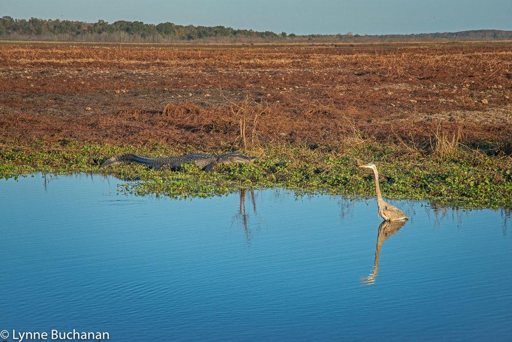 Alligator-Heron Standoff