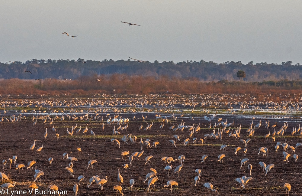 Cranes and White Pelicans, Paynes Prairie