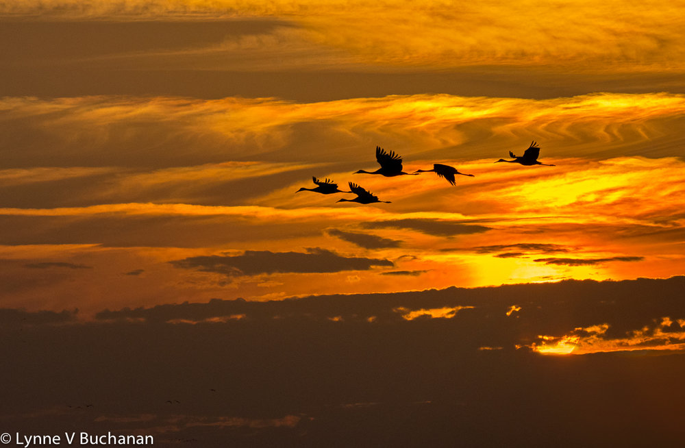 Cranes Silhouetted Against the Setting Sun