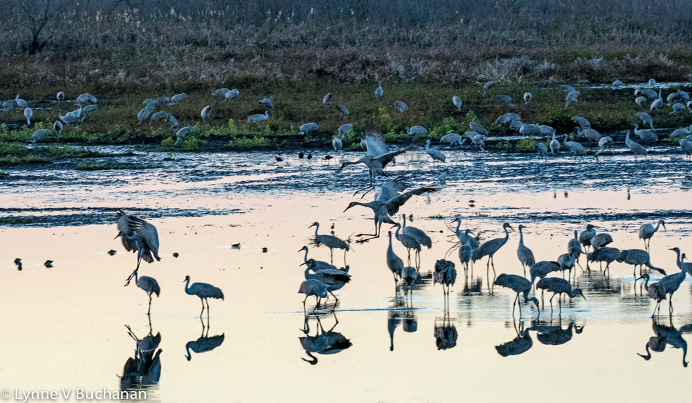 Cranes Landing at Dusk