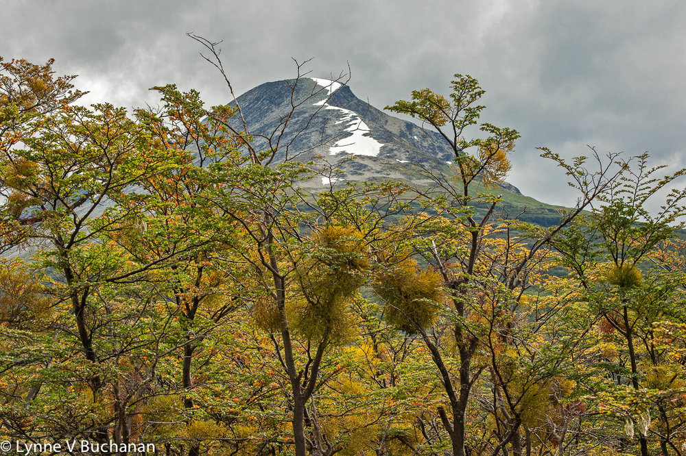 Mountain Viewed Through the False Mistletoe, Tierra del Fuego