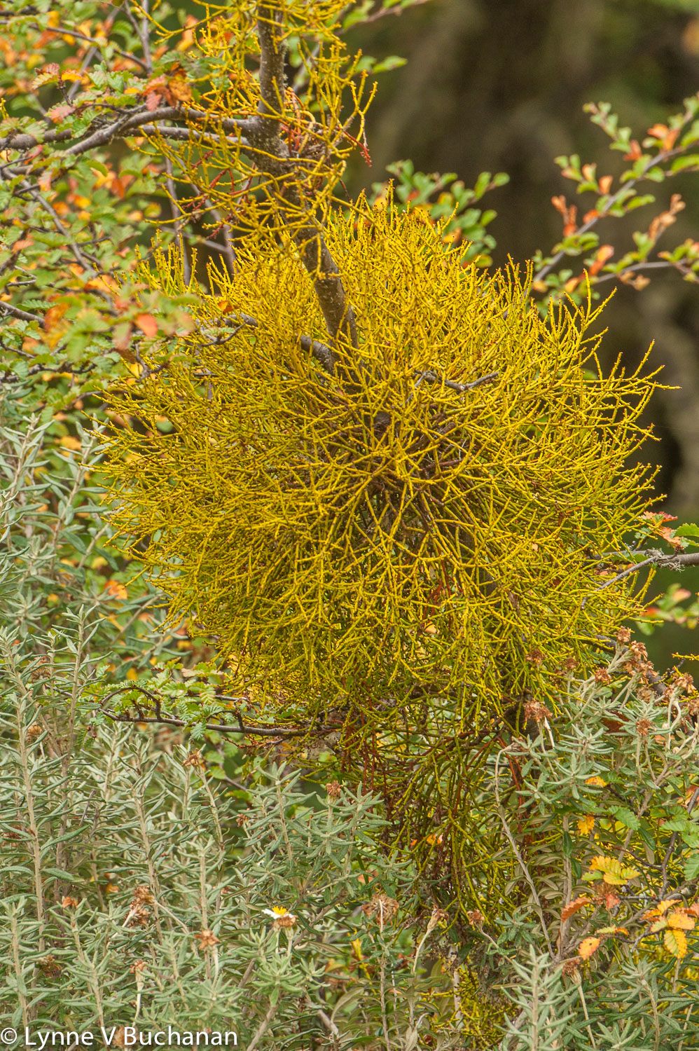 False Mistletoe, Tierra del Fuego