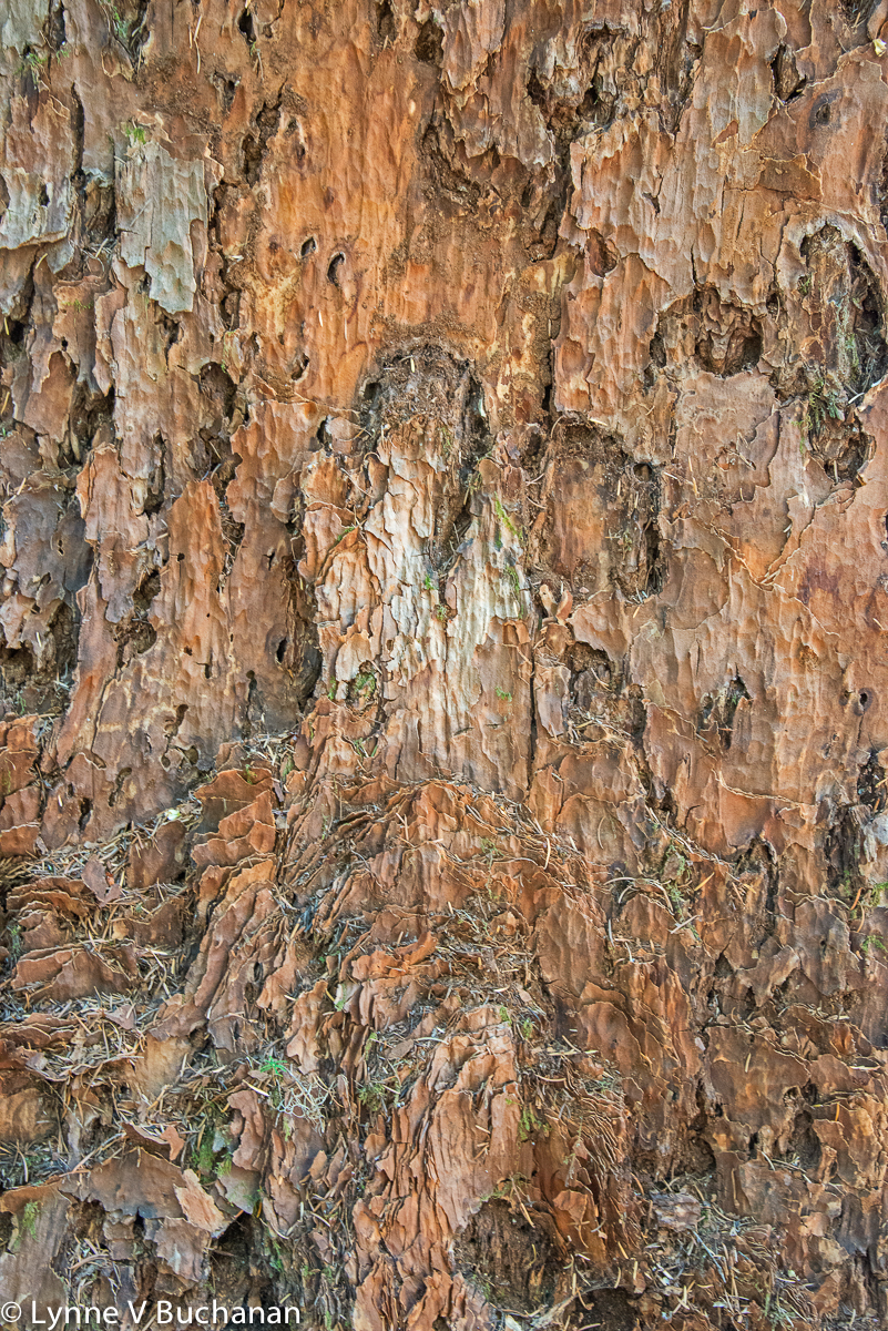 Old Growth Hemlock Bark