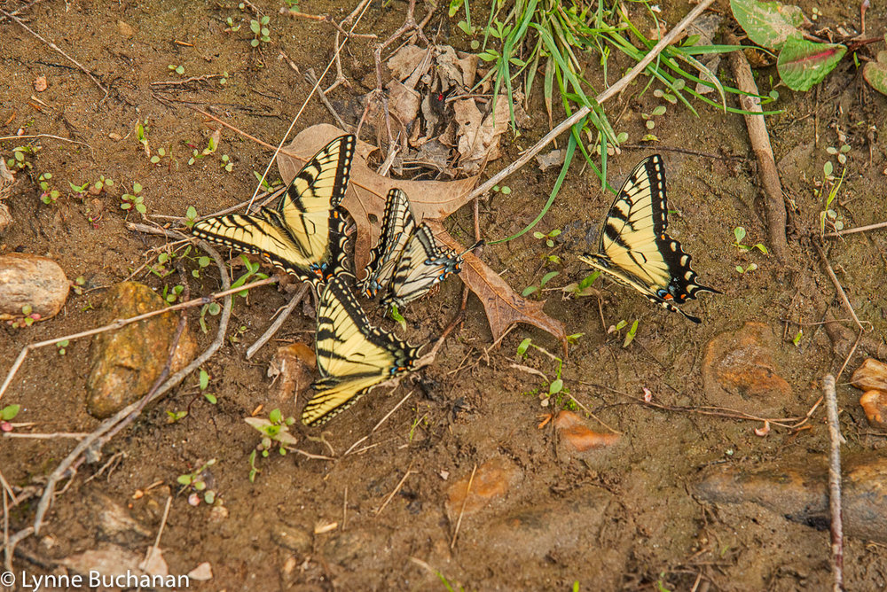 Butterflies Absorbing Nutrients from the Soil