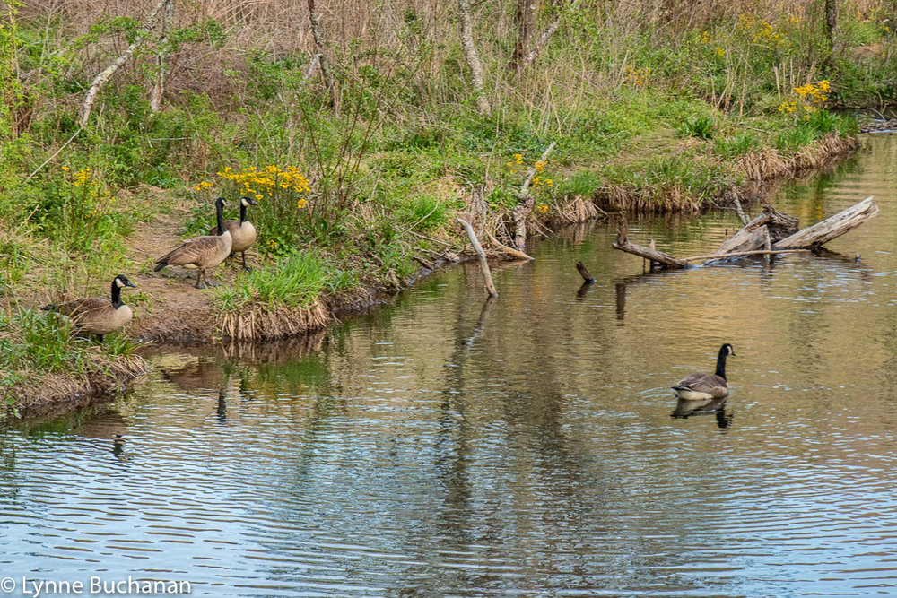 Geese in the Lake Powhatan Marshaland