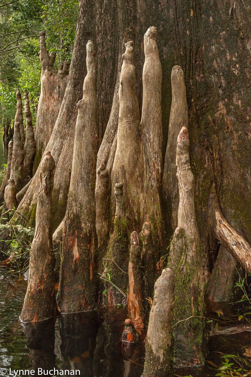 Cypress Tree Brigade