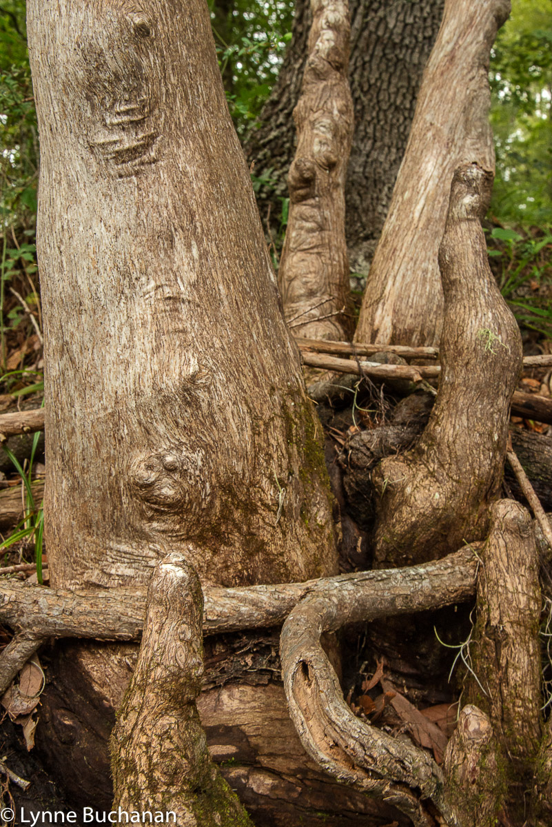 Twisted Cypress Knees