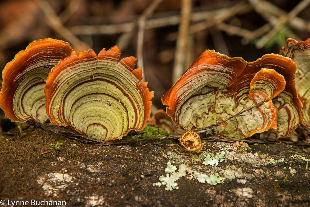 False Turkey Tail Mushrooms Fanning out on a Fallen Tree