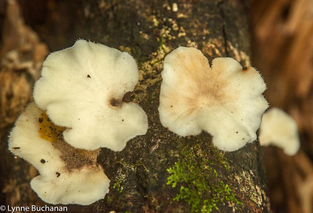 Pleurotus Ostreatus (Tree Oysters)