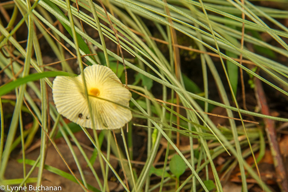 Pale Yellow Mushroom Veiled by the Grass