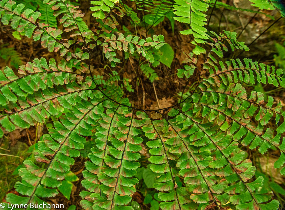 Northern Maidenhair Ferns