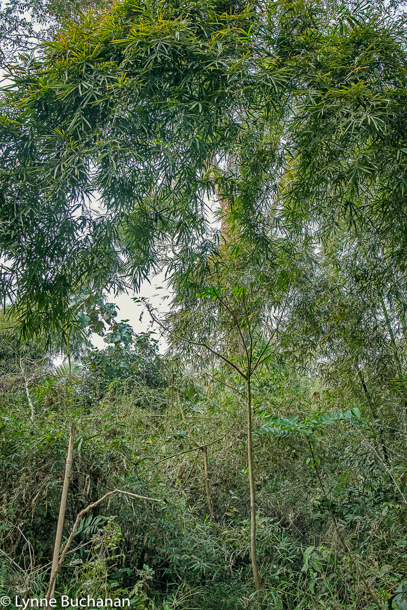 Satchori Forest, Giant Bamboo with Crown of Leaves