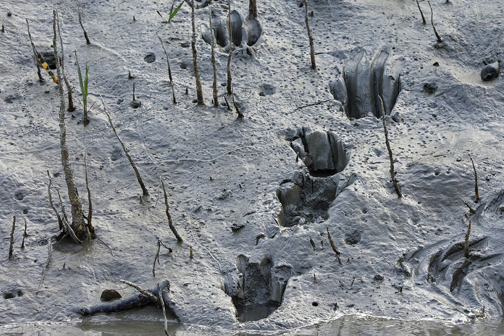 Fresh Tiger Tracks Along a Narrow Canal in the Sundarbans