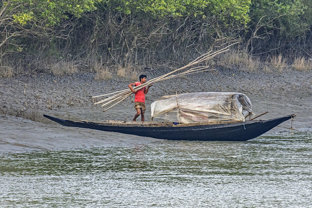 Illegal Poaching of Mangrove Wood