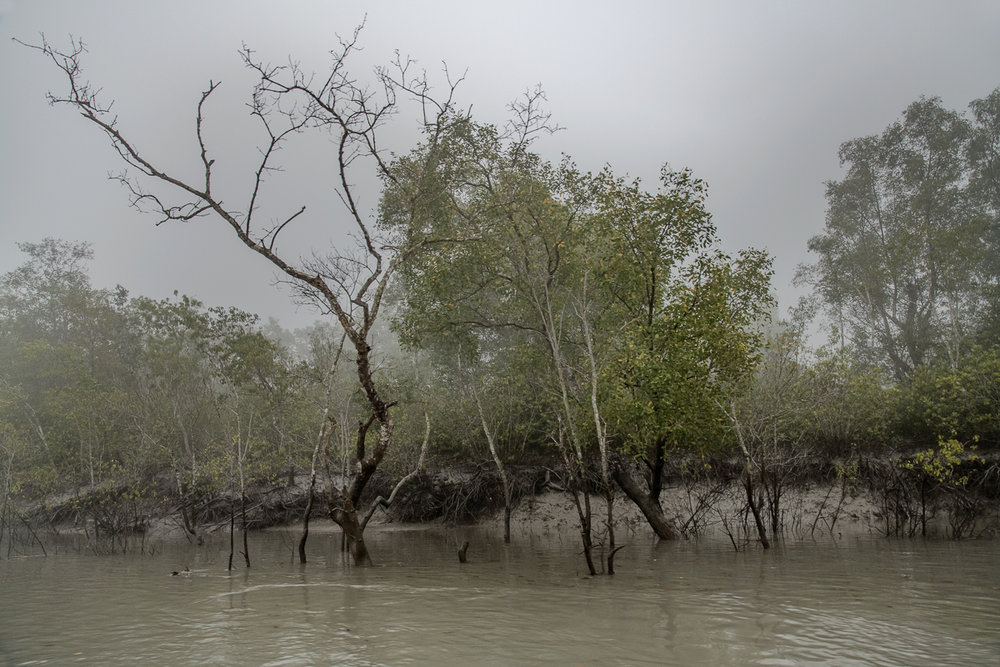 Dead Trees and Encroaching Water from Sea Level Rise, the Sundarbans