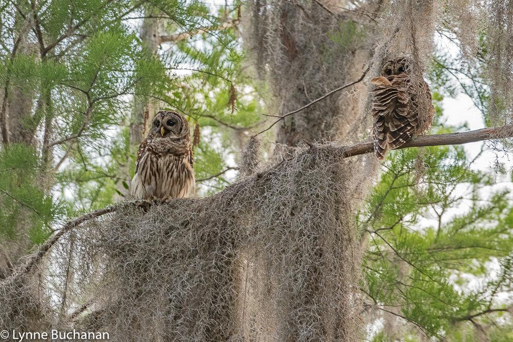 Pair of Juvenile Owls, Okefenokee Swamp