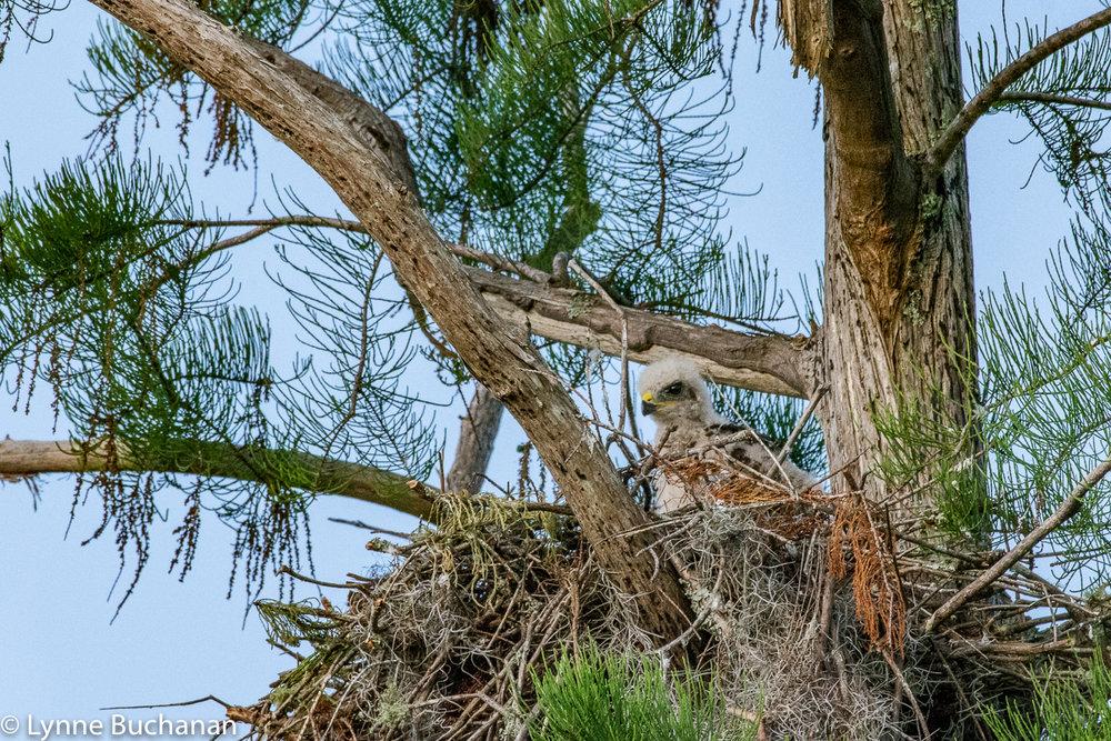 Fledgling Hawk