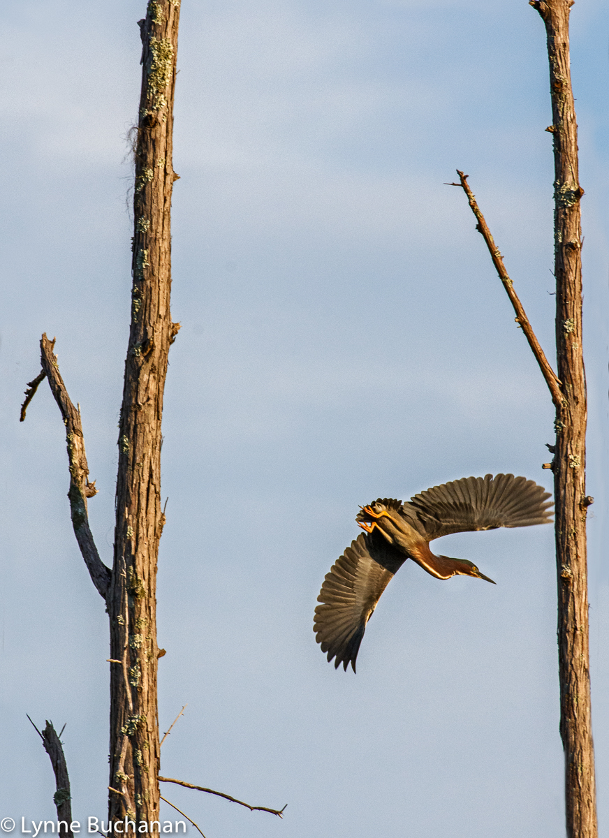 Okefenokee Green Heron in Flight