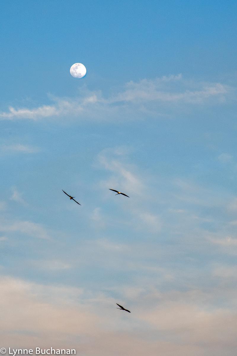 A Trio of Kites Beneath a Full Moon, Okefenokee Swamp