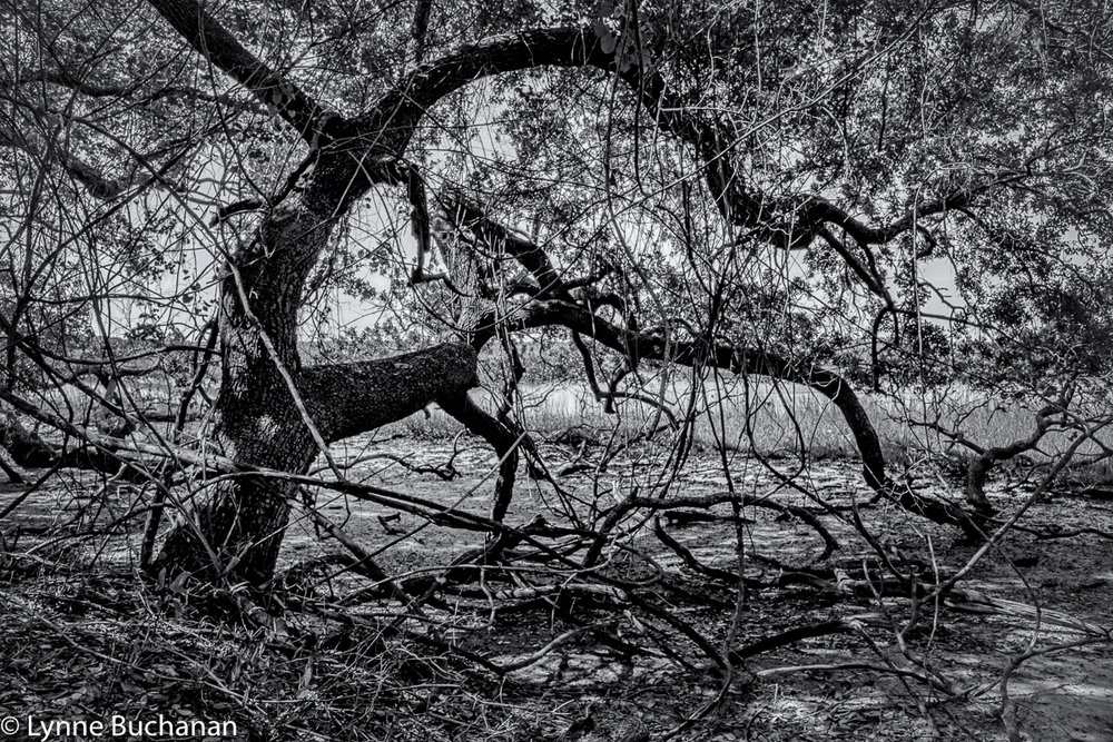 Cumberland Island Oak on the Riverbank of the St. Mary's River