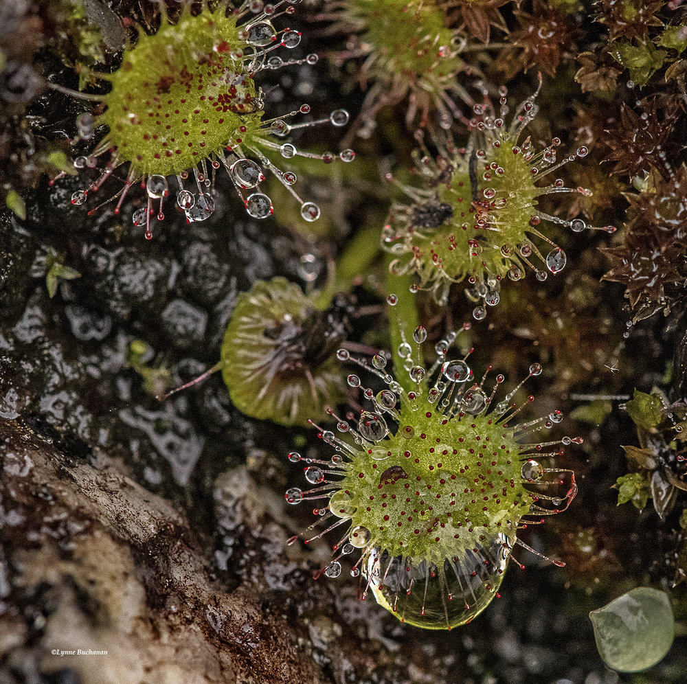 Water Droplets Clinging to Sundews