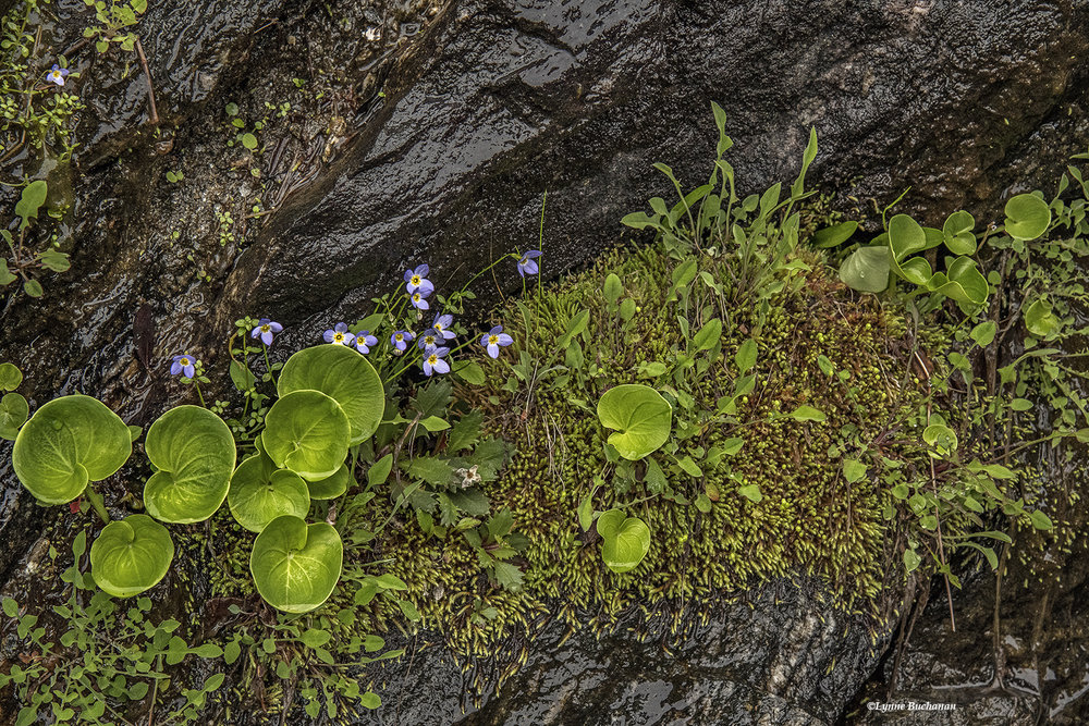 Vertical Bog with Grass of Parnassus, Bluets and Moss