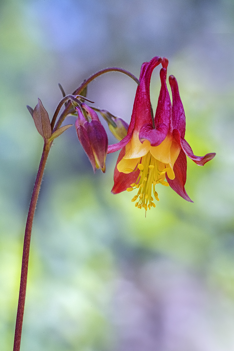 Vertical Northeastern Columbine Transfer.jpg