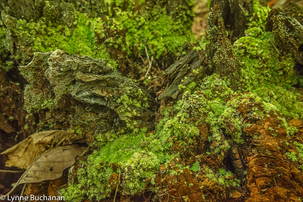 Holmes Forest Biodiversity on a Tree Stump8063.jpg