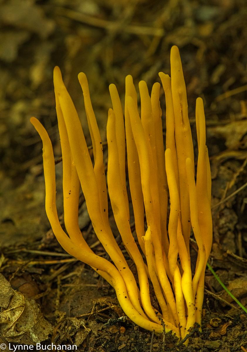 Flame Fungi