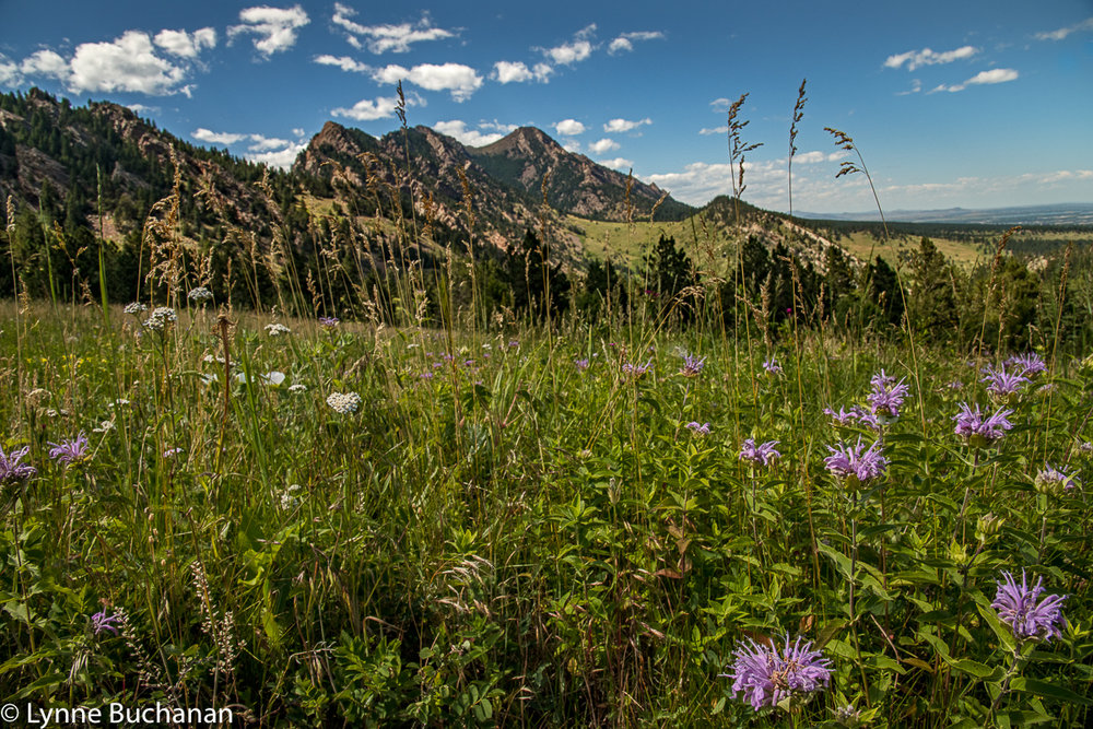 Bee Balm and Wildflowers, Field in Eldorado Canyon