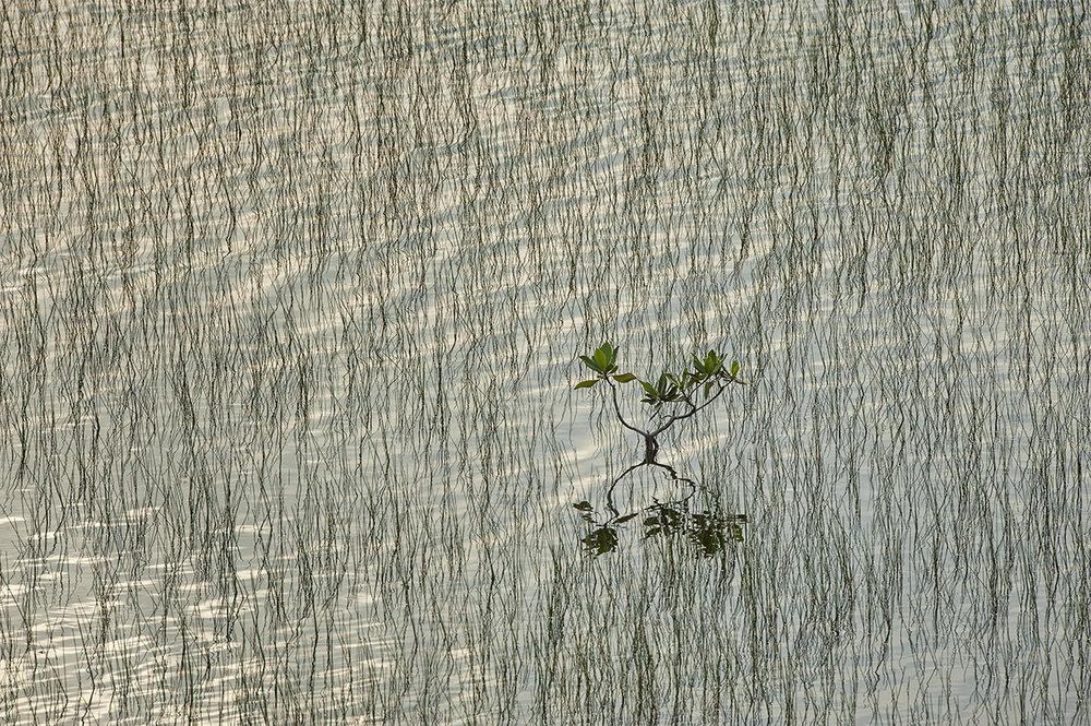 Miniature Mangrove in 10,000 Islands.jpg