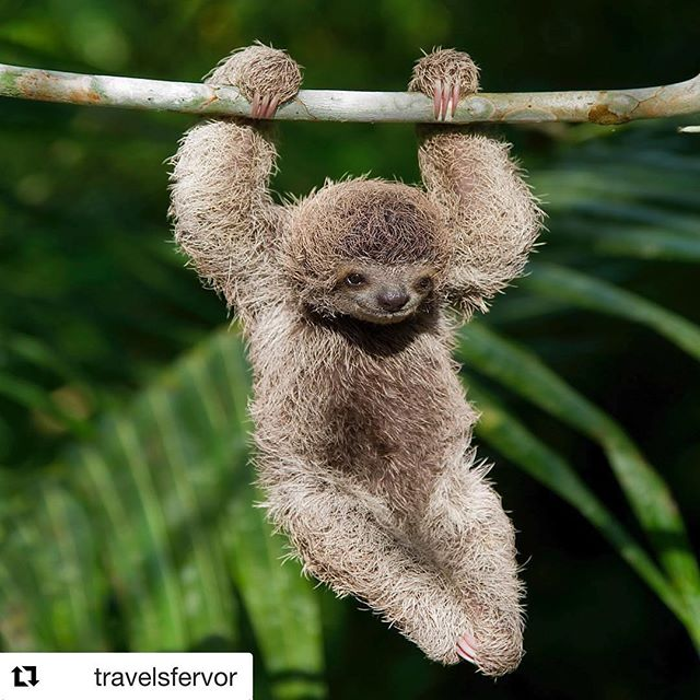 Hang in there, Friday and end of year is almost here. Joyful Brown-throated Three-toed Sloth hanging in the wild rainforest 🍃 🌴 North of Punta Banco, Costa Rica. Photo by @mark_kostich_photography #Repost @travelsfervor