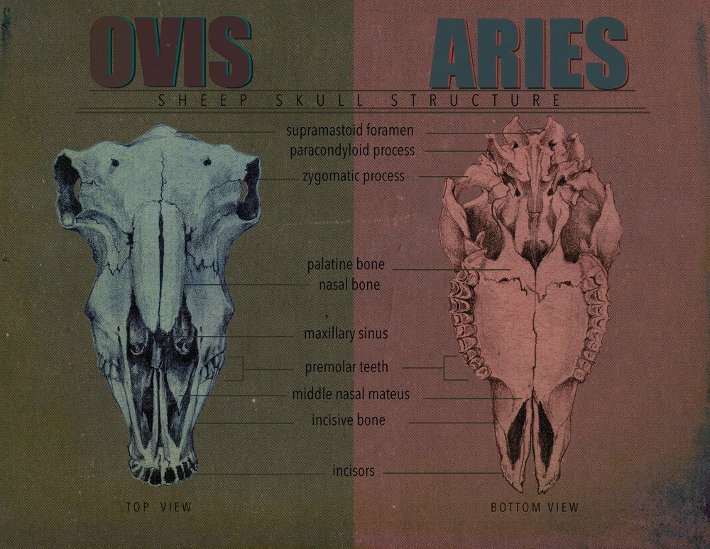 An infograph showing the front and back view of a sheep skull.