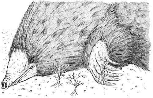 Great Southern Moldywarpe Talpa ferox rex